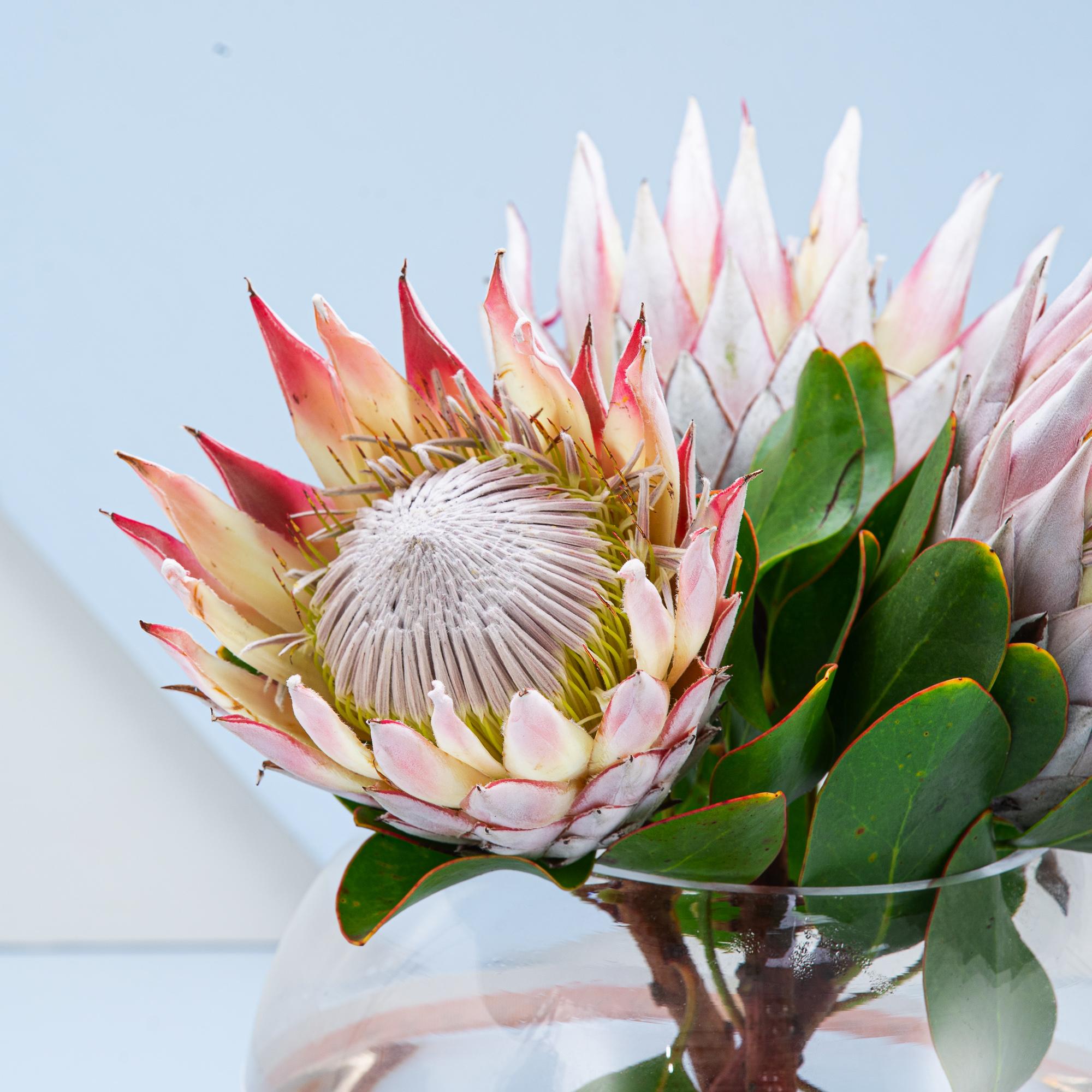 Lama's Protea