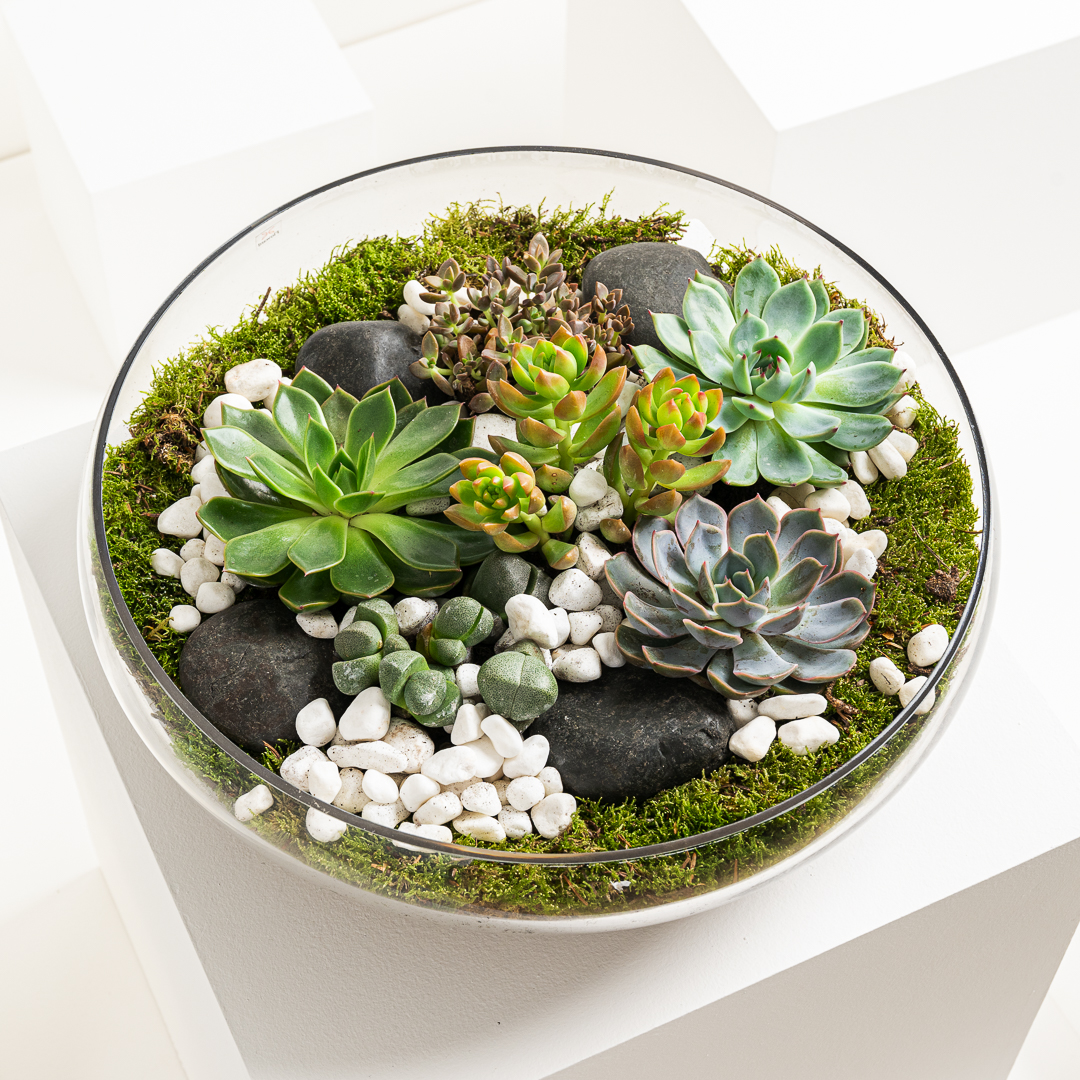 Ascia's Succulents