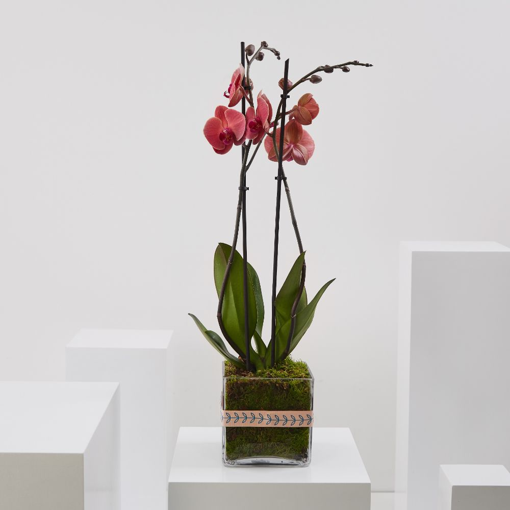 Asian Coral Orchid (Phalaenopsis)