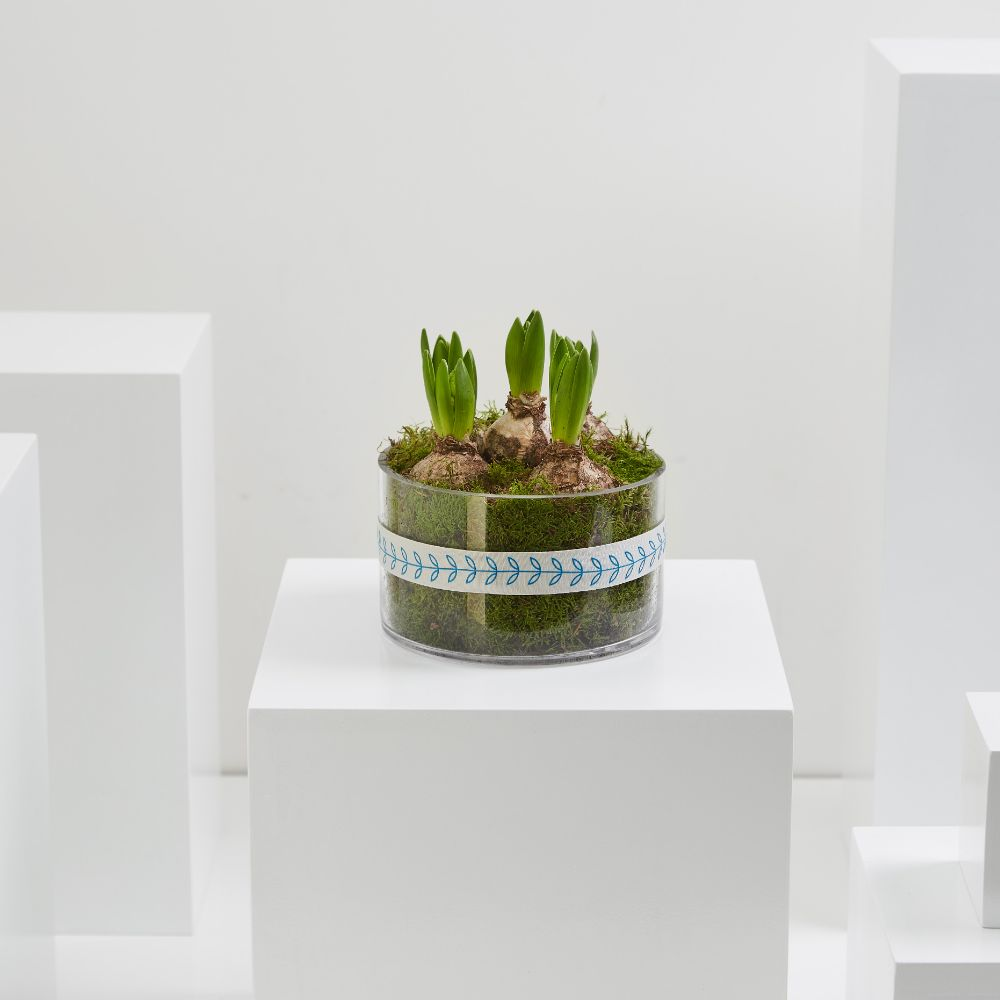 White Hyacinth Planter