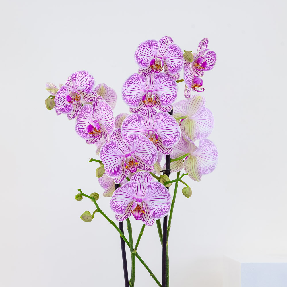 Pink Stripe Orchid
